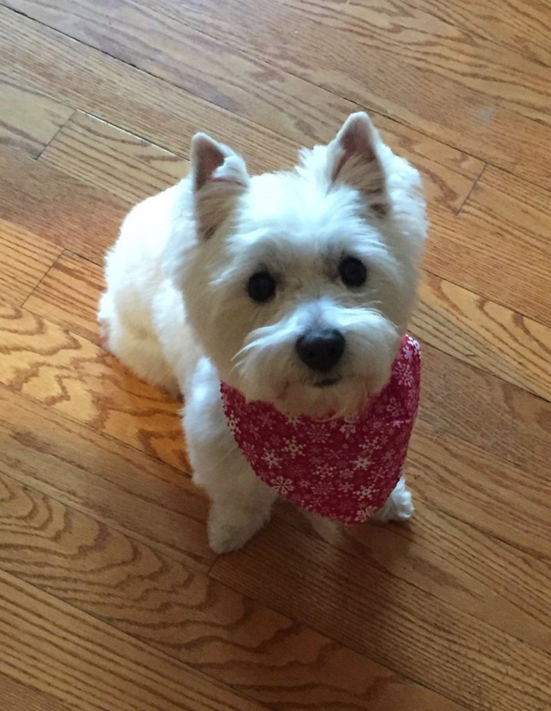 Tiny white adopted dog with a red bandana