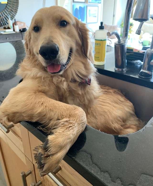 big dog in kitchen sink for a bath