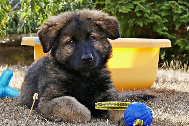german shepherd, puppy, dog