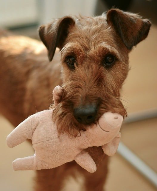 Terrier and his stuffed animal