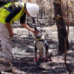 Dog sniffs out Koala in Australia fire