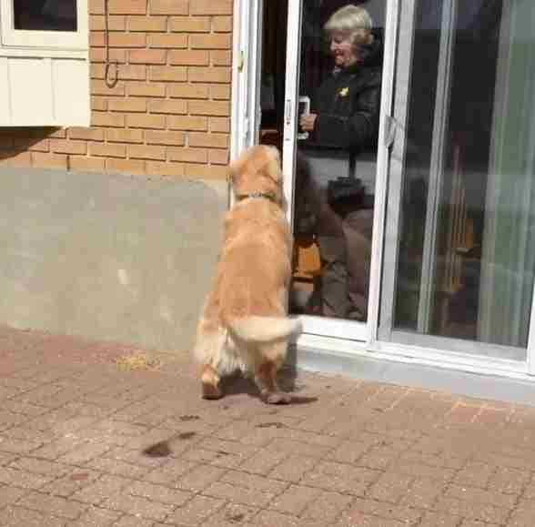 cheddar trying to get inside the neighbor's house