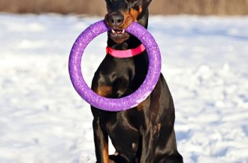 Doberman with hoop toy, ready to play