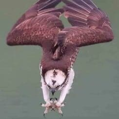 Osprey in attack mode