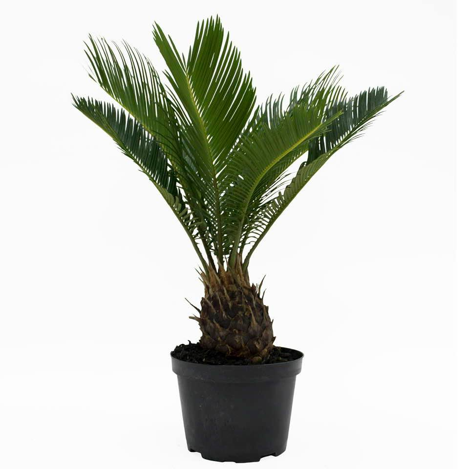 Sago Palm is a potted plant that kills dogs