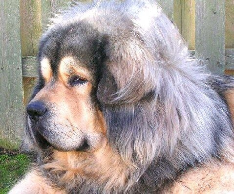 Older, pet quality Tibetan Terrier with every day coat