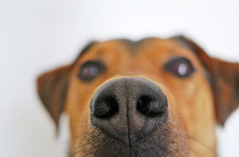 Close up of a dog's sniffing nose