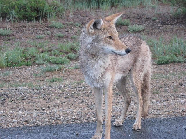 coyote, keep your dog safe