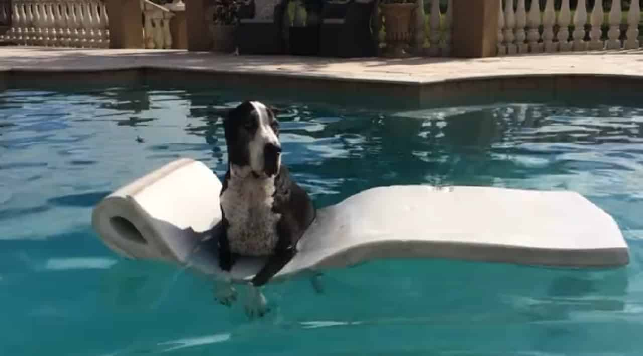 great dane on a float in the pool