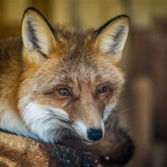 Fox resting on brown wood