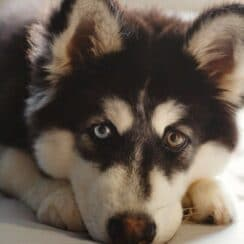 Two eye colors on a Husky