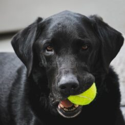 black lab with tennis ball in his mouth