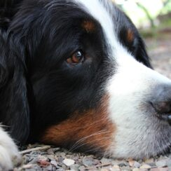 HEAD OF A BERNESE MOUNTAIN DOG LYING DOWN