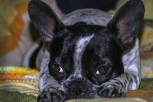 French Bull Dog Named Pickles
